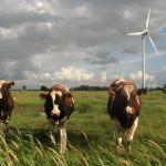 windmolen koeien